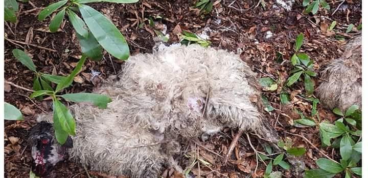 Araklı'da ahıra giren ayılar 11 koyunu telef etti