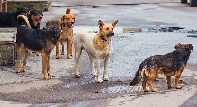 Trabzon'da sokak köpekleri 1 kişiyi hastanelik etti