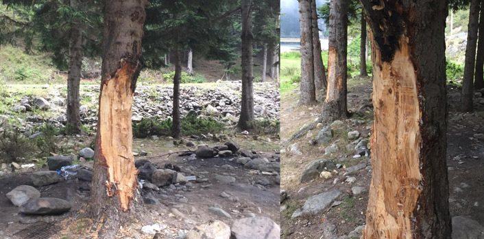 Trabzon'da çıra için 70 yıllık ağaçlara zarar verdiler