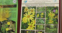 Karadeniz'e özgü bitkiler hastalara şifa olacak