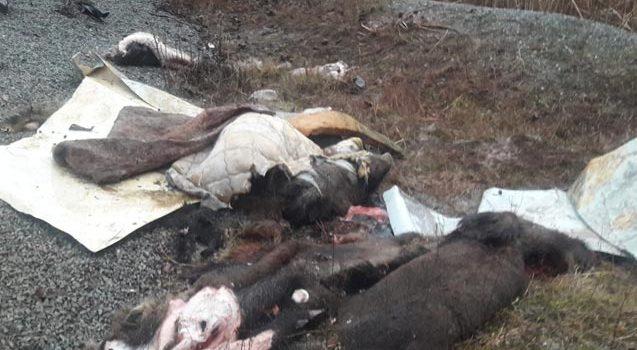 Trabzon'da domuzları parçalayanlarla ilgili yeni gelişme