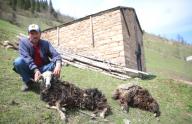 Trabzon'da ahıra giren ayı 4 koyunu telef etti
