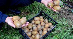 Emekli olduktan sonra oluşturduğu kivi bahçesinin ürünlerini dalındayken satışa sunuyor