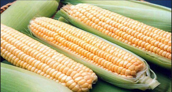 Iğdır mısır üretiminde de iddialı